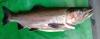 Feb 2015 River caught 4.5lb Jack
