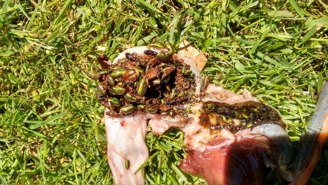 Green Beetle in gut of trout