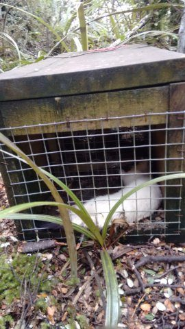 Effective trap catches Stoat now Ermine with winter coatIMG_20160713_130827242