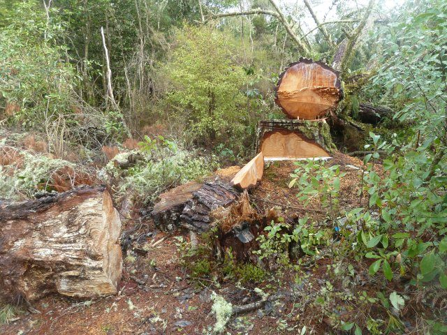 Whitikau Pine felled as a precaution against falling in the river.