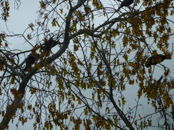 How many Tui in the Kowhai tree.