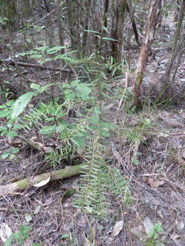 Totara regeneration under poisoned pine