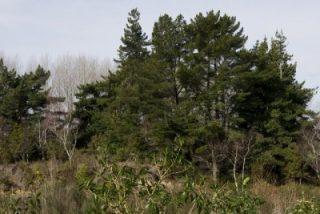 tongariro-river-3-before-pine-control_0