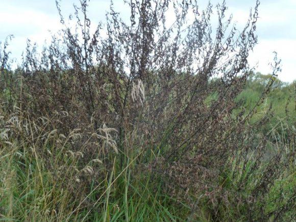 008_0 Dead Willow. Sprayed 1.3.12